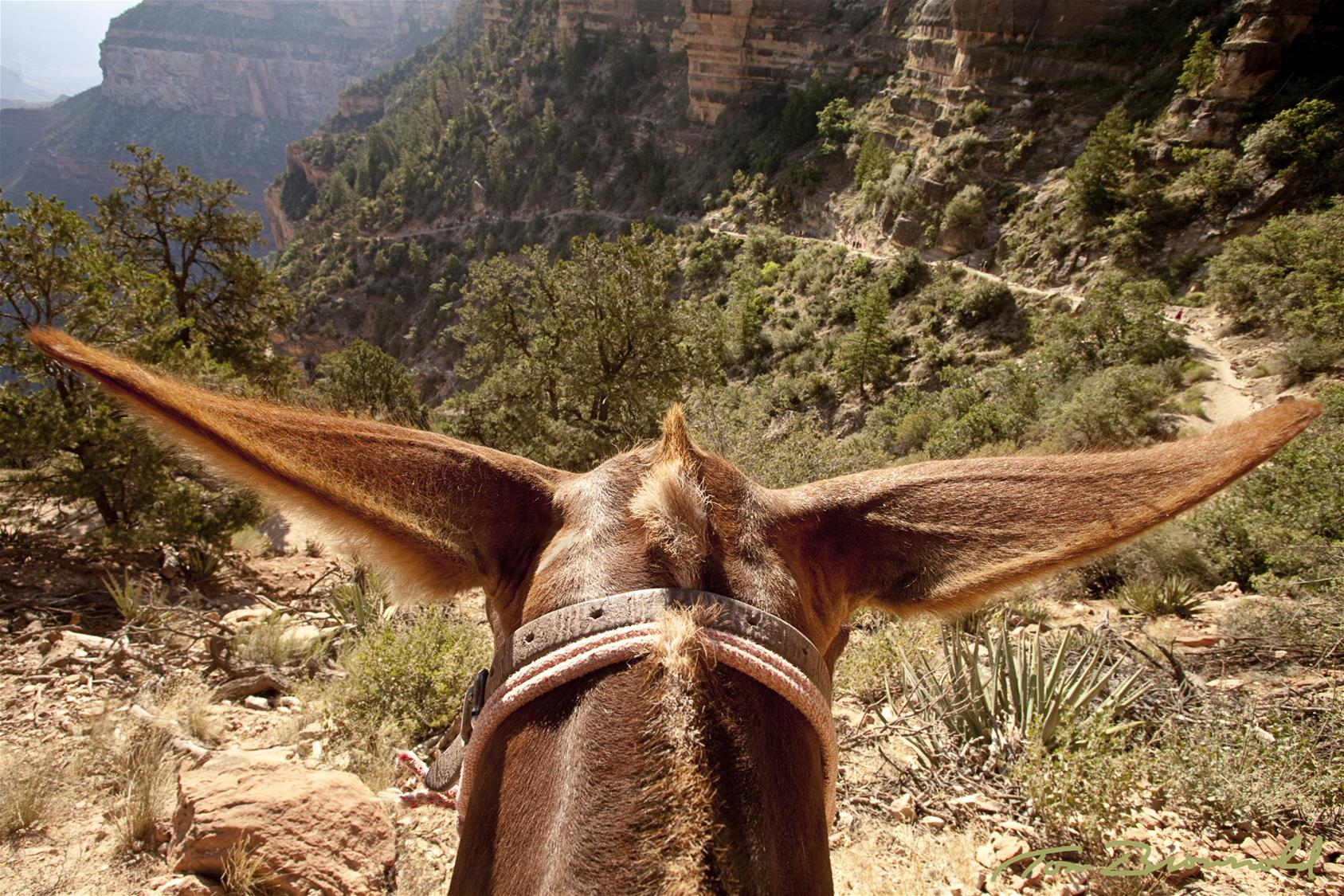 view of the grand canyon from atop a mule